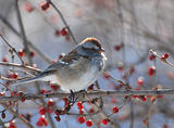 American tree sparrow ; comments:30
