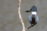ringed kingfisher ; comments:36