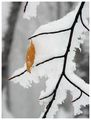 Snow and the leaf ; comments:19