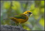 Жълто Пиле ; comments:37