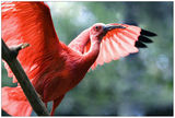 Scarlet Ibis ; comments:20