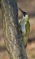 Зелен кълвач /Picus viridis/. ; comments:31