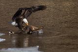Bald Eagle (Haliaeetus Leucocephalus) ; comments:34