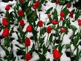 Пролетна изненада ; comments:73