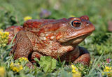 Bufo bufo ; comments:18