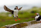Puffins 2009 2 ; Comments:62