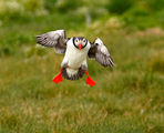 Puffins 2009 3 ; Comments:47