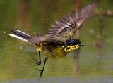 Жълта стърчиопашка ; comments:39
