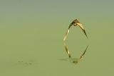 Мaлък воден бик(Ixobrychus minutus) ; comments:40