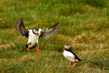 Puffins 2009 7 ; Comments:25