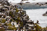 Puffins 2009 8 ; Comments:15