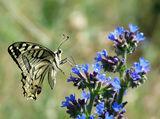 Papilio machaon - Голям полумесец ; comments:23