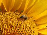 sunflower .......... ; No comments