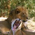 Лъвицата ; comments:20
