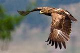 Малък креслив орел ; comments:24