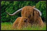 A Heelin Coo (a.k.a. Highland Cow ;) ) ; Comments:27
