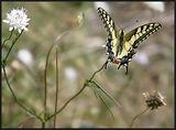 Papilio machaon - Голям полумесец ; comments:16