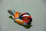Mandarin Duck / Aix galericulata ; comments:38