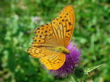Argynnis ; comments:43