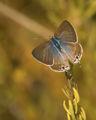 Lampides boeticus(благодаря на Zedrules за определението) ; comments:9