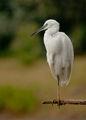 Малка бяла чапла (Egretta garzetta) ; comments:23