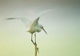 Малка бяла чапла (Egretta garzetta) ; comments:55