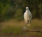 Малка бяла чапла (Egretta garzetta) ; comments:32