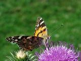 Дяволска пеперуда ; comments:36