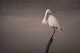 Малка бяла чапла (Egretta garzetta) ; comments:38