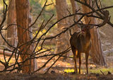 fallow deer rut ; comments:47