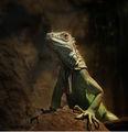 Iguana ; comments:129