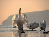 Утринна лебедова ария ; comments:40