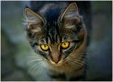 Котешки портрет ; comments:8