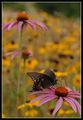 Черна лястовича опашка ; comments:11
