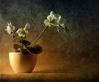 Mini Phalaenopsis ; comments:47