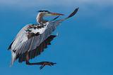 Great Blue Heron/Синя чапла ; comments:38