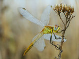 Sympetrum fonscolombii,  женски ; comments:26