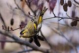Елшова скатия ( Carduelis spinus ). ; comments:31