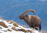 алпийски козирог /Capra ibex/ ; Comments:50