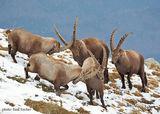 алпийски козирог /Capra ibex/ ; comments:39