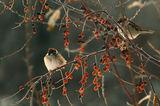 Врабчета през зимата ; comments:62