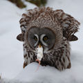 Lapland Owl having lunch ; comments:39