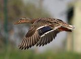 Зеленоглава патица - ( Женска ) ; comments:28