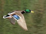 Зеленоглав паток ; comments:14
