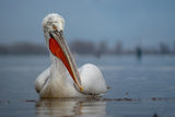 Къдроглав пеликан (Pelecanus crispus) ; comments:49