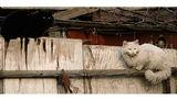 Бела котка, чер котак ; comments:53