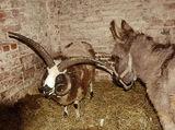 Овца със 4 рога ; comments:7