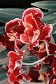 Сълзите на Орхидеята ; comments:18