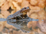 Common Toad ; comments:51
