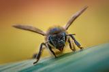 Пчела ; comments:22
